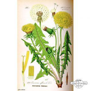 Common Dandelion Taraxacum officinale 3