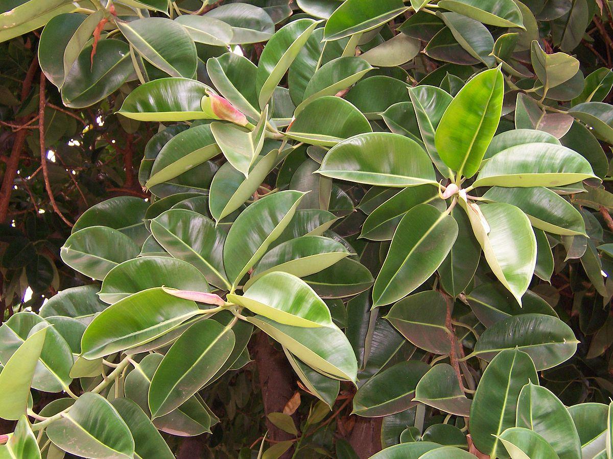 1200px Ficus elastica leaves 02