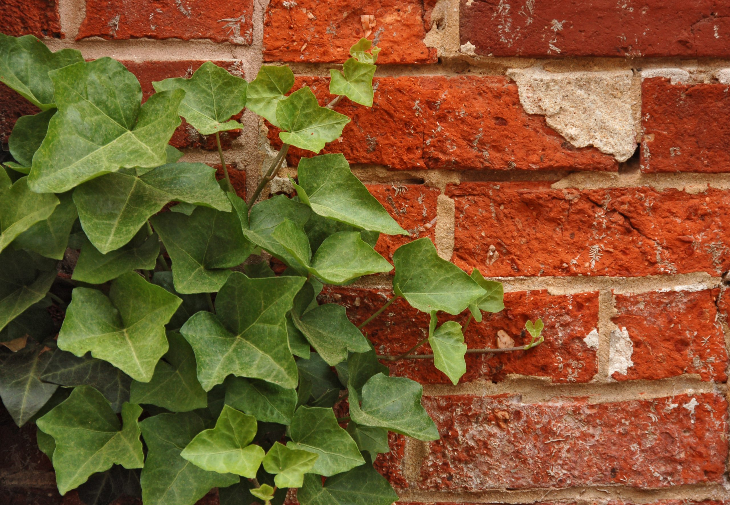 Ivy Hedera Red Brick Wall 2892px scaled