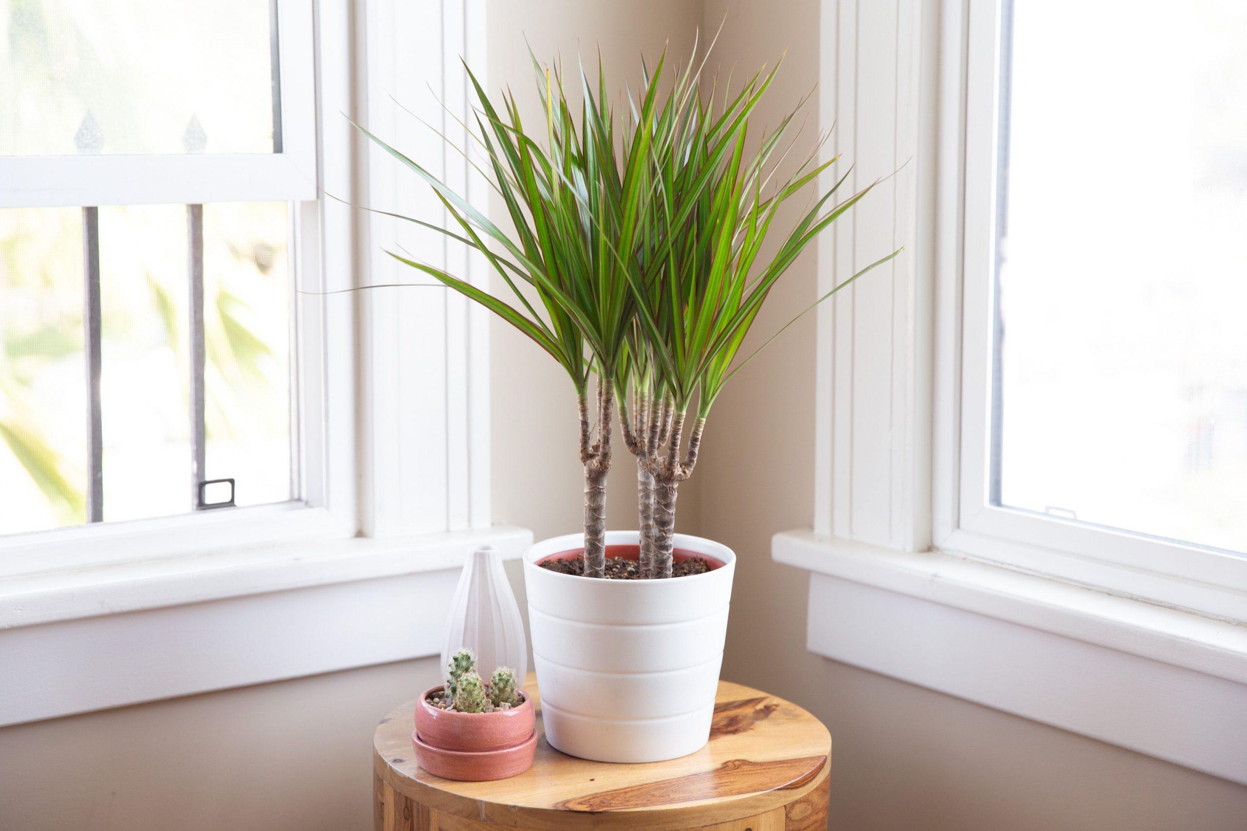 grow dracaena marginata indoors 1902749 2 983c52a2805144d899408949969a5728 scaled