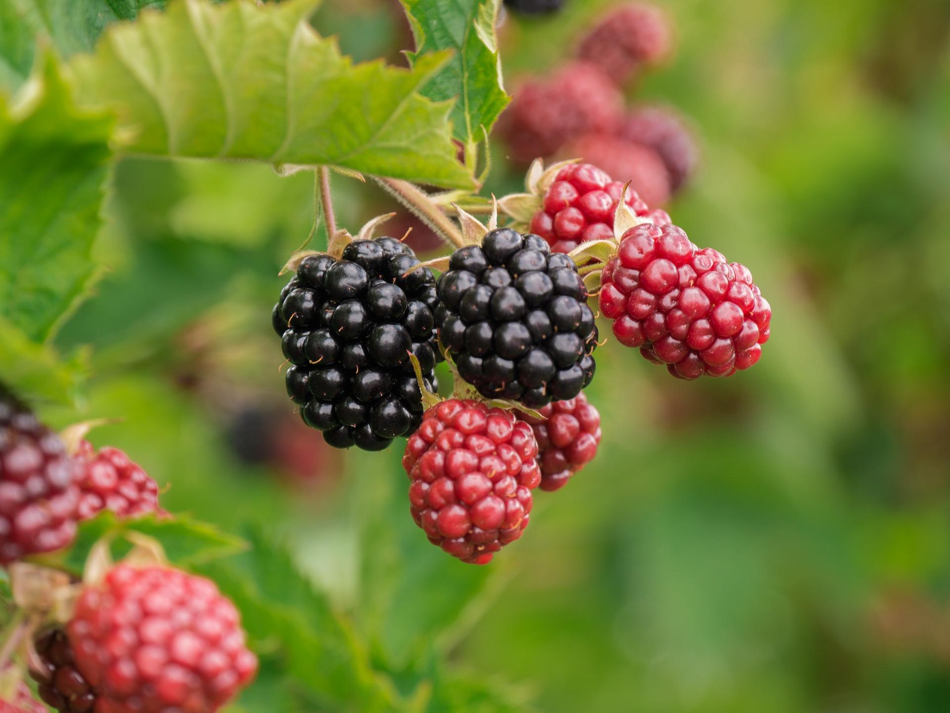 berry 3513546 1920